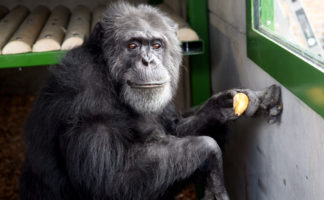 Romag glass has improved viewing at the Wales Ape & Monkey Sanctuary in the Brecon Beacons.